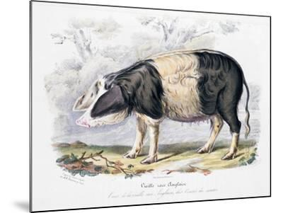 Old English Breed of Pig, 1842--Mounted Giclee Print