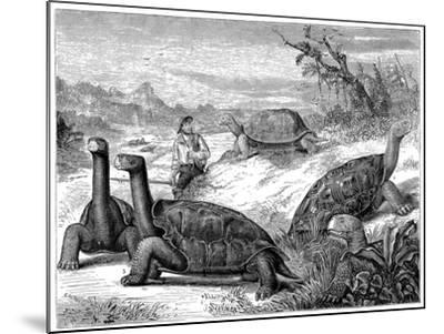 Giant Land Tortoises of the Galapagos Islands, 1884--Mounted Giclee Print