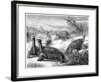 Giant Land Tortoises of the Galapagos Islands, 1884--Framed Giclee Print