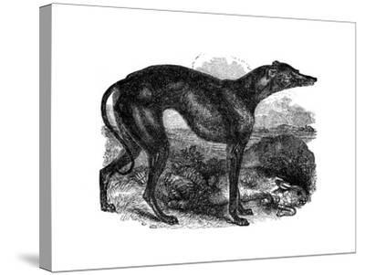 Greyhound, 1848--Stretched Canvas Print