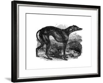 Greyhound, 1848--Framed Giclee Print
