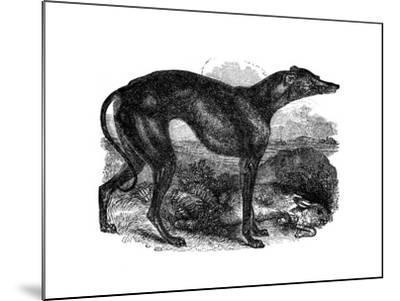 Greyhound, 1848--Mounted Giclee Print