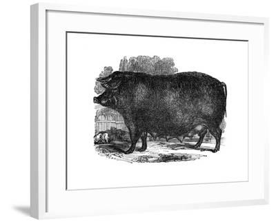 Hampshire Sow, 1848--Framed Giclee Print
