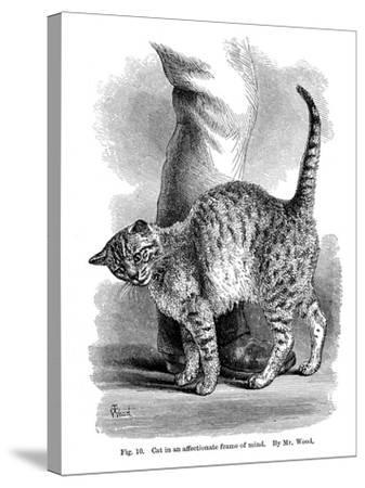 A Cat in Affectionate Frame of Mind, from the Expression and Emotions in Man and Animals, 1872--Stretched Canvas Print
