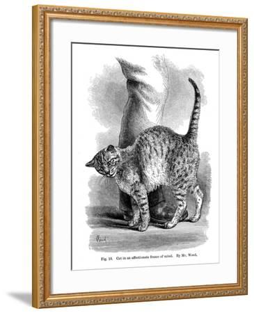 A Cat in Affectionate Frame of Mind, from the Expression and Emotions in Man and Animals, 1872--Framed Giclee Print