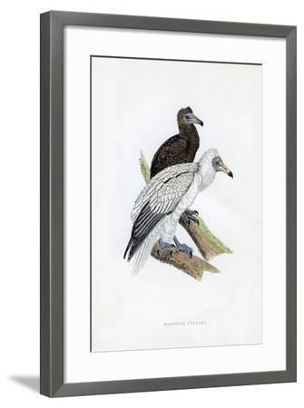 Egyptian Vulture, C19th Century--Framed Giclee Print
