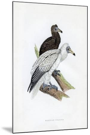 Egyptian Vulture, C19th Century--Mounted Giclee Print