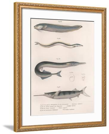 Common Snake Fish. Common Sand Eel. Common Hornhecht. Brazilian Halfbeak, C.1850S--Framed Giclee Print