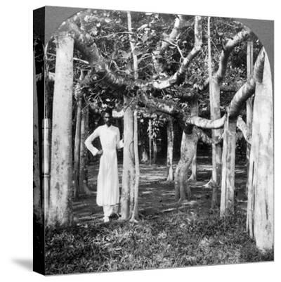 Among the Roots of a Banyan Tree, Calcutta, India, 1900s-Underwood & Underwood-Stretched Canvas Print