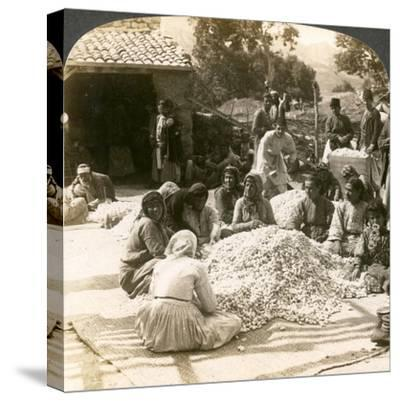 Women Sorting Large Piles of Silk Cocoons, Antioch, Syria, 1900s-Underwood & Underwood-Stretched Canvas Print