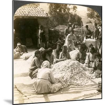 Women Sorting Large Piles of Silk Cocoons, Antioch, Syria, 1900s-Underwood & Underwood-Mounted Giclee Print