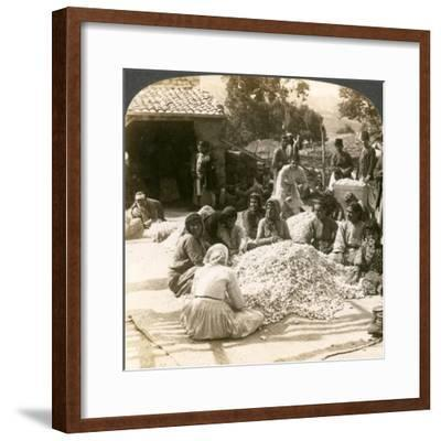 Women Sorting Large Piles of Silk Cocoons, Antioch, Syria, 1900s-Underwood & Underwood-Framed Giclee Print