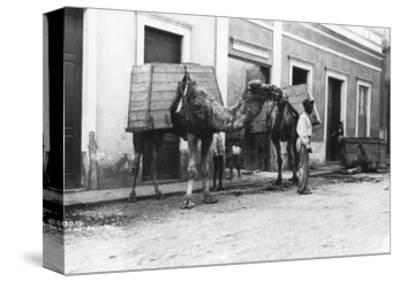Man with Camels, Las Palmas, Gran Canaria, Canary Islands, Spain, C1920s-C1930s--Stretched Canvas Print
