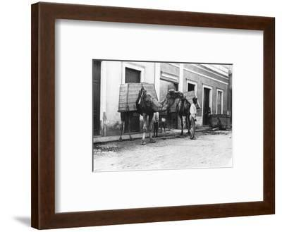 Man with Camels, Las Palmas, Gran Canaria, Canary Islands, Spain, C1920s-C1930s--Framed Giclee Print