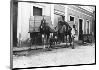 Man with Camels, Las Palmas, Gran Canaria, Canary Islands, Spain, C1920s-C1930s--Mounted Giclee Print