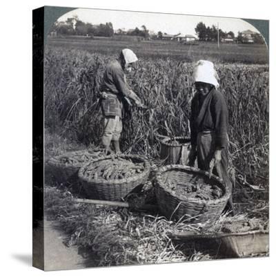 Peasants Cutting Millet, Near Yokohama, Japan, 1904-Underwood & Underwood-Stretched Canvas Print