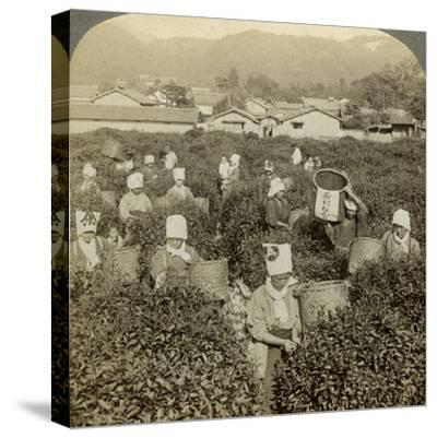 Girls Picking Tea, Uji, Japan-Underwood & Underwood-Stretched Canvas Print