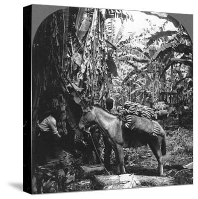 Harvesting Bananas, Costa Rica, 1909--Stretched Canvas Print