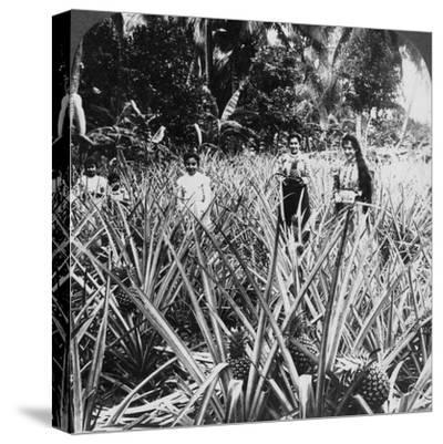 Pineapple Fields, Mayaguez, Puerto Rico-Underwood & Underwood-Stretched Canvas Print