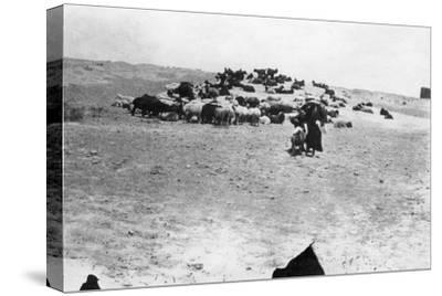 Sheep Grazing Outside Samarra, Mesopotamia, 1918--Stretched Canvas Print