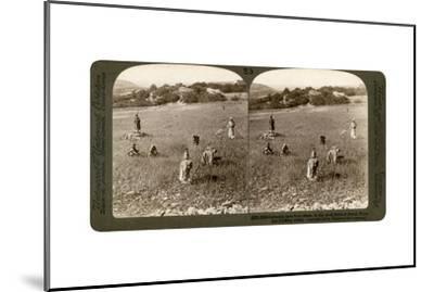 Gathering Tares from Wheat in the Stony Fields of Bethel (Bayti), Palestine, 1900-Underwood & Underwood-Mounted Giclee Print