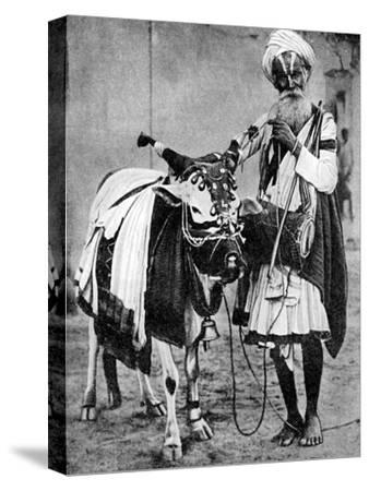 Hindu Cow with Sacred Cow, India, 1936--Stretched Canvas Print