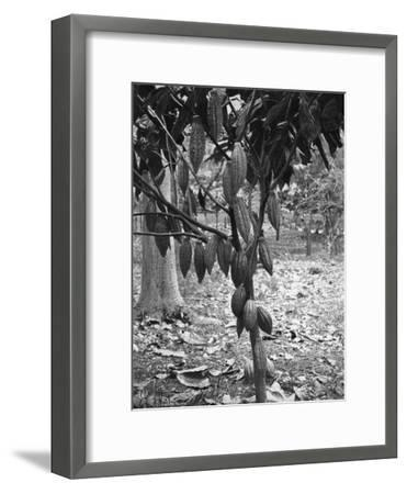 Cocoa Tree, Jamaica, C1905-Adolphe & Son Duperly-Framed Giclee Print