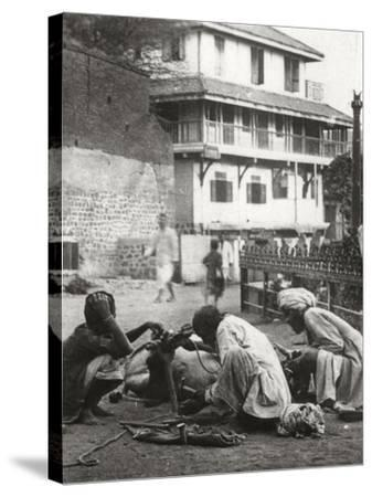 Shoeing a Bullock, India, C1927-C1929--Stretched Canvas Print