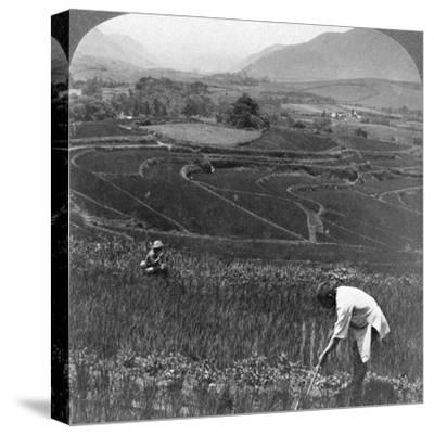 Fertile Rice Fields in the Old Crater of Aso-San, Japan, 1904-Underwood & Underwood-Stretched Canvas Print
