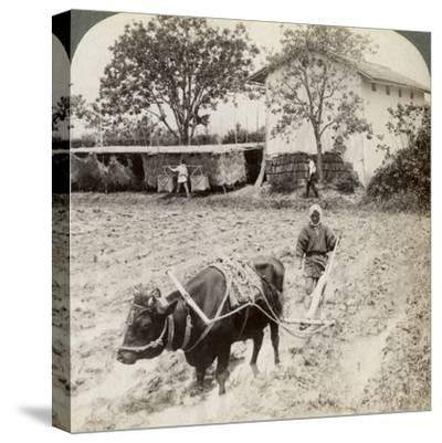Ploughing Flooded Ground for Rice Planting, North of the Main Road at Uji, Near Kyoto, Japan, 1904-Underwood & Underwood-Stretched Canvas Print