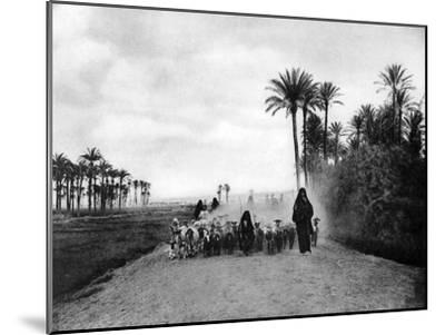 Shepherding Sheep Near Cairo, Egypt, C1920S--Mounted Giclee Print