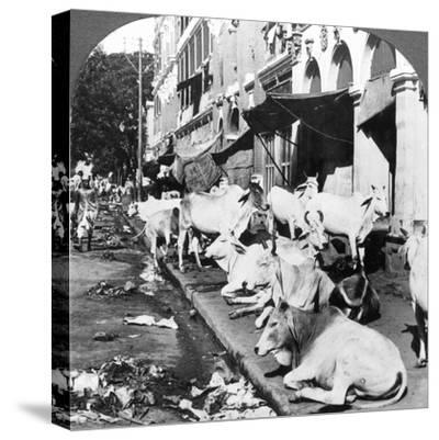How Hindu Cows Enjoy Life on Harrison Street, Calcutta, India, 1900s-Underwood & Underwood-Stretched Canvas Print