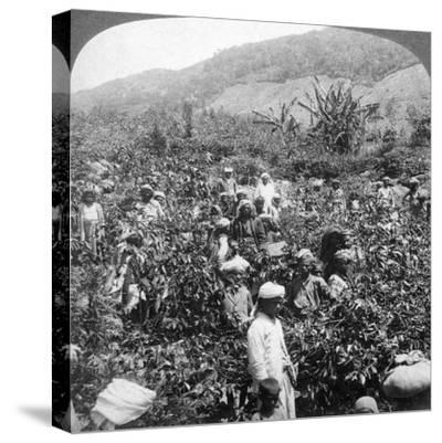 Coffee Picking on Sir Thomas Lipton's Estate, Dambutenne, Sri Lanka, 1903-Underwood & Underwood-Stretched Canvas Print