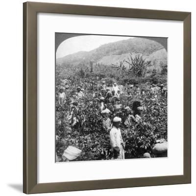 Coffee Picking on Sir Thomas Lipton's Estate, Dambutenne, Sri Lanka, 1903-Underwood & Underwood-Framed Giclee Print