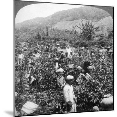 Coffee Picking on Sir Thomas Lipton's Estate, Dambutenne, Sri Lanka, 1903-Underwood & Underwood-Mounted Giclee Print