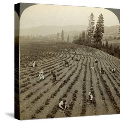 Strawberry Picking, Cedar Creek Farm, Hood River Valley, Oregon, Usa-Underwood & Underwood-Stretched Canvas Print