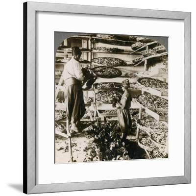 Feeding Silk Worms their Breakfast of Mulberry Leaves, Lebanon Mountains, Syria, 1900s-Underwood & Underwood-Framed Giclee Print