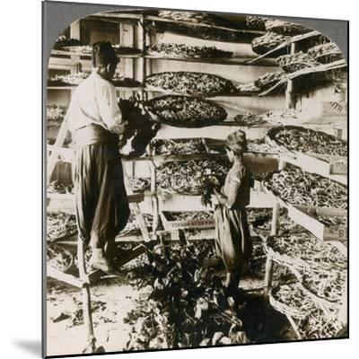 Feeding Silk Worms their Breakfast of Mulberry Leaves, Lebanon Mountains, Syria, 1900s-Underwood & Underwood-Mounted Giclee Print