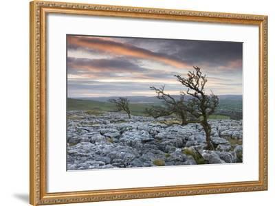 Twisted Hawthorn Trees Growing Through the Limestone Pavement on Twistleton Scar, Yorkshire-Adam Burton-Framed Photographic Print