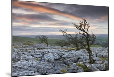 Twisted Hawthorn Trees Growing Through the Limestone Pavement on Twistleton Scar, Yorkshire-Adam Burton-Mounted Photographic Print