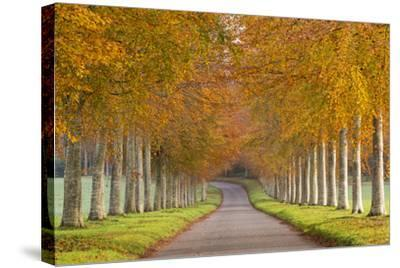 Avenue of Colourful Trees in Autumn, Dorset, England. November-Adam Burton-Stretched Canvas Print