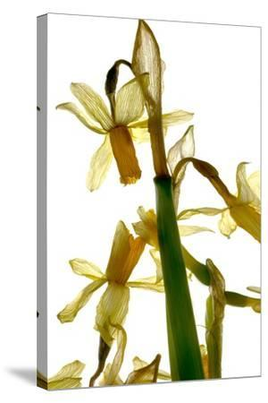 Daffodil Stand-Julia McLemore-Stretched Canvas Print