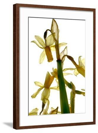 Daffodil Stand-Julia McLemore-Framed Photographic Print