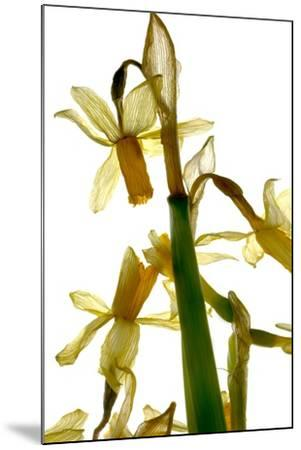 Daffodil Stand-Julia McLemore-Mounted Photographic Print