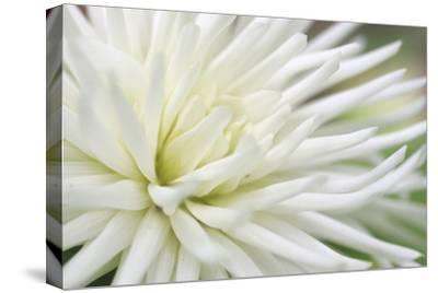 Dahlia Abstract-Anna Miller-Stretched Canvas Print
