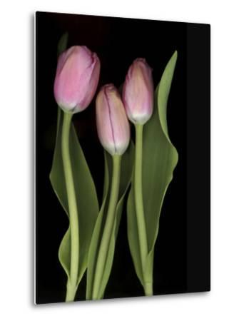 Tulips on Black Background-Anna Miller-Metal Print
