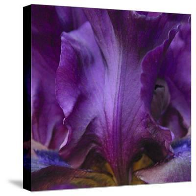 Iris Abstract-Anna Miller-Stretched Canvas Print