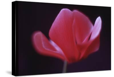 Red Cyclamen Abstract-Anna Miller-Stretched Canvas Print