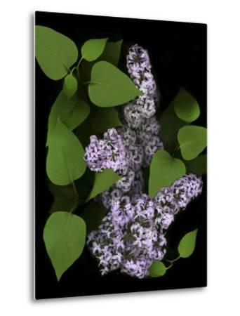 Lavender Lilac Plant-Anna Miller-Metal Print