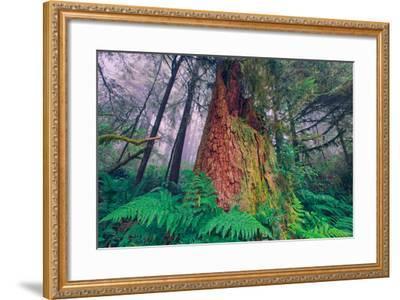 Time Tree, California Redwood Coast--Framed Photographic Print